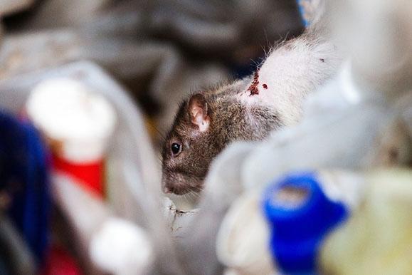 Fotojournalist - Kranke Ratte in einem verwahrloster Recycling-Betrieb in Dresden